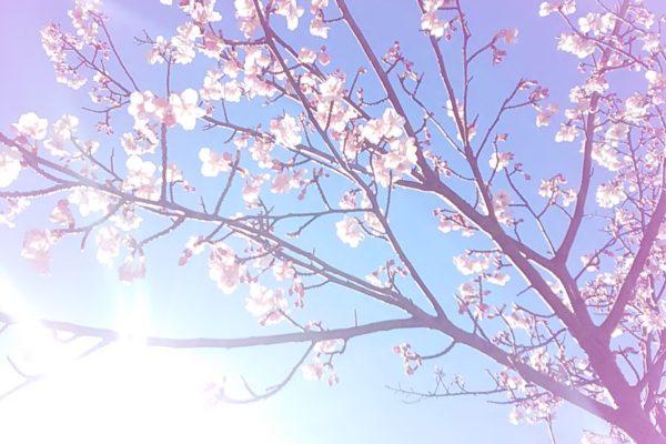 2475桜さん光