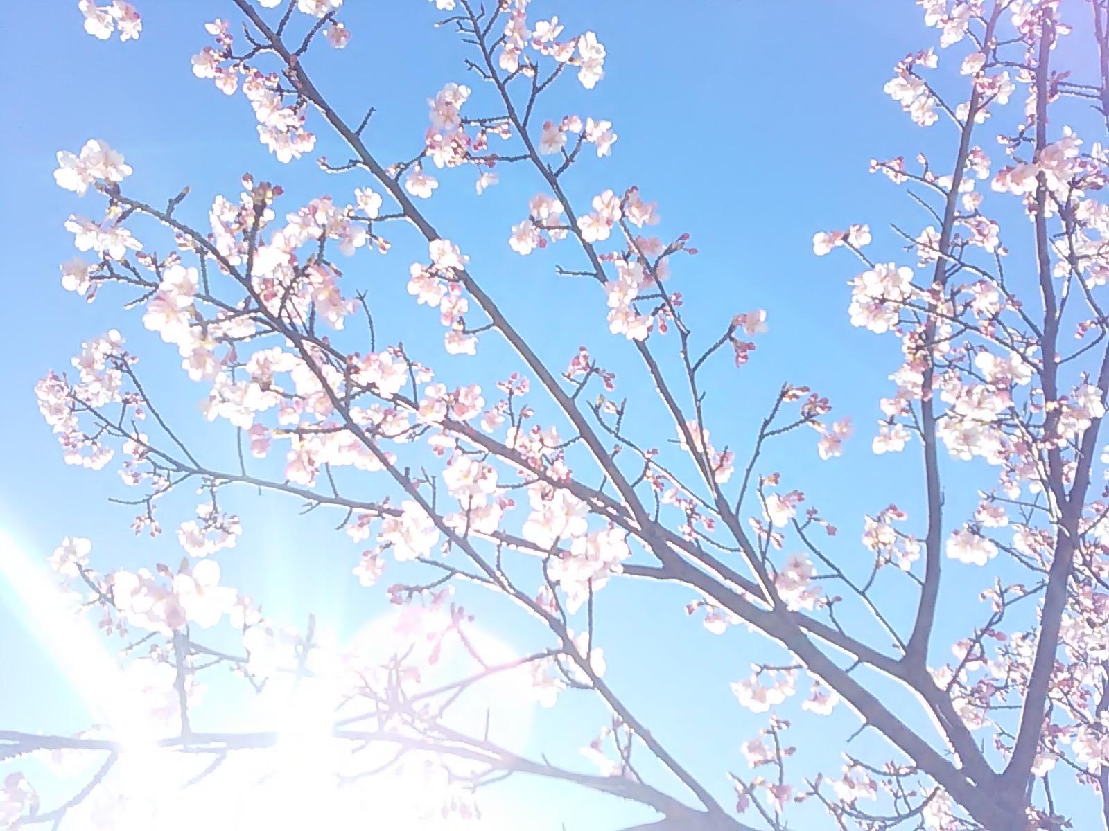 2476桜さん光