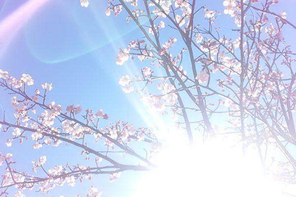 2479桜さん光