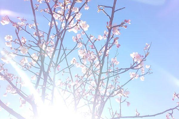 2482 桜さん光