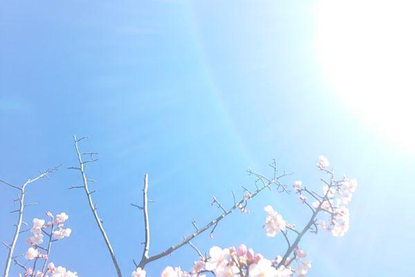 2465桜さん光