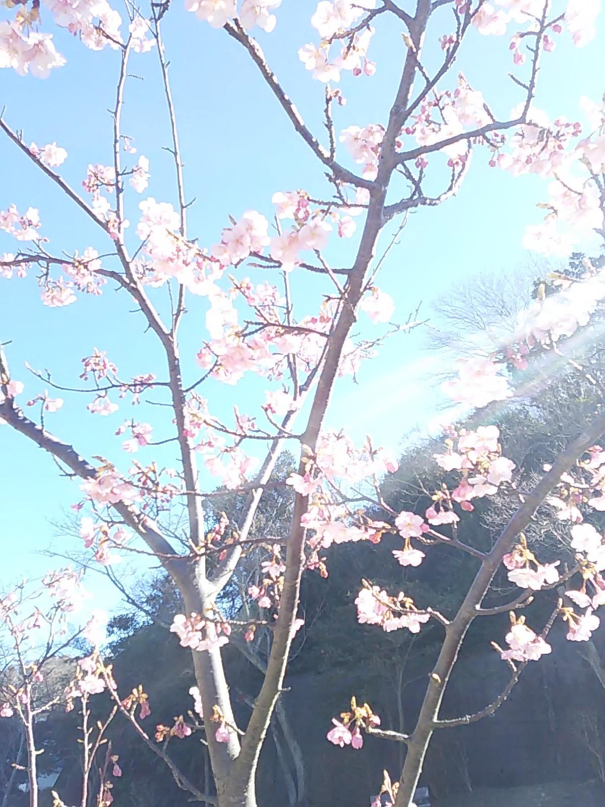 2507 桜さん