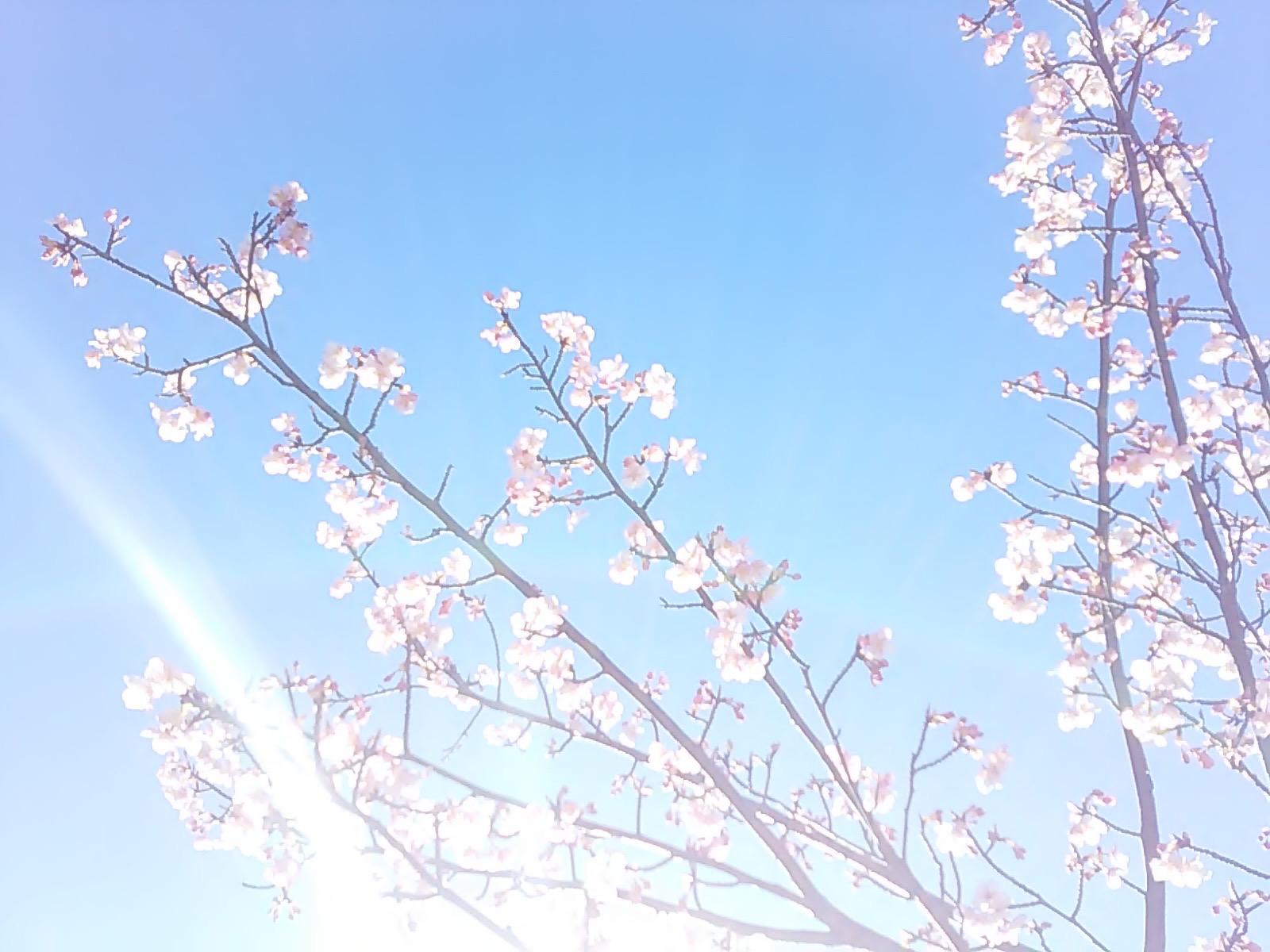 2478 桜さん光