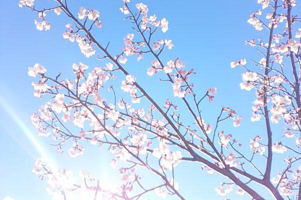2477桜さん光