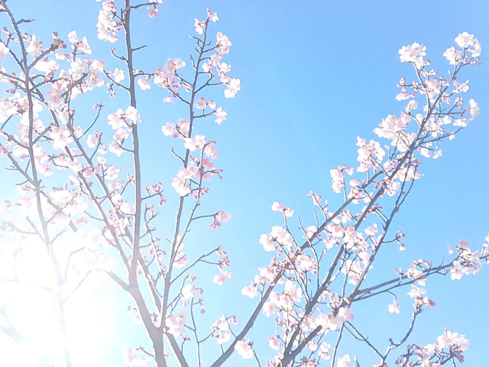 2473桜さん光