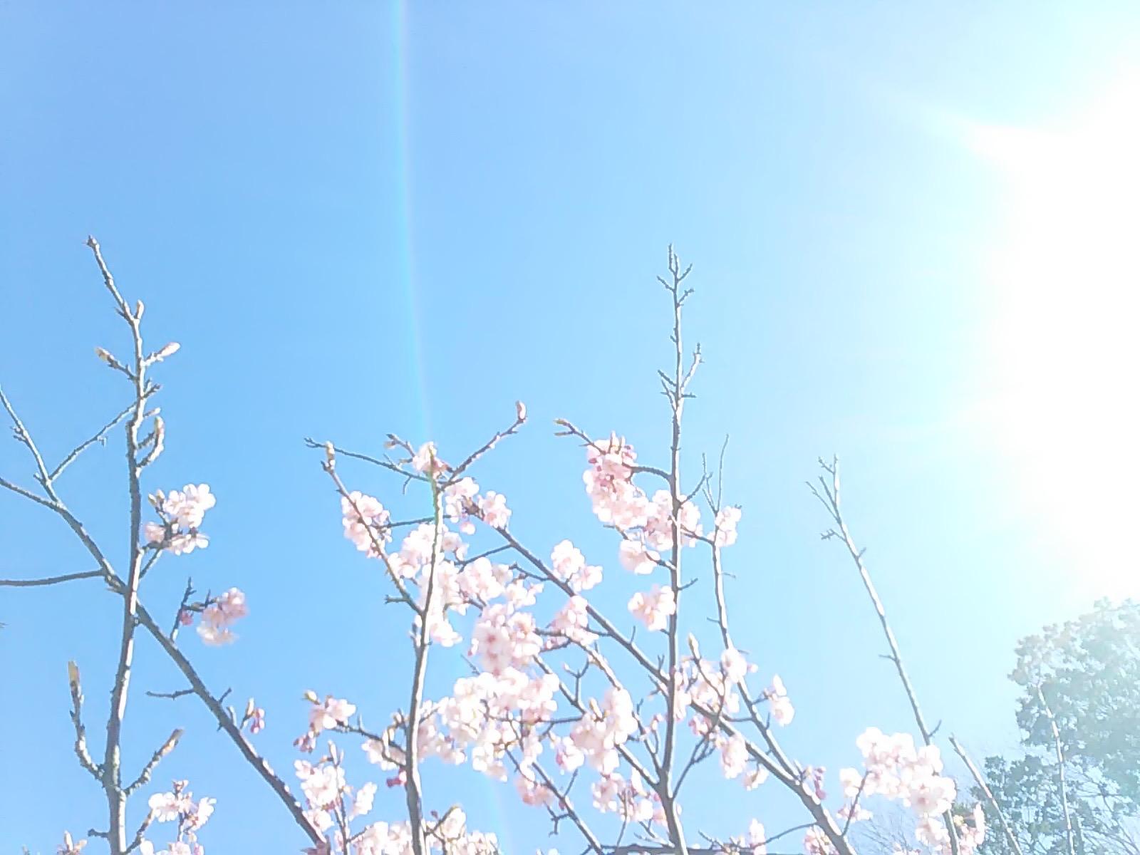 2498桜さん光