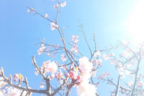 2467桜さん光