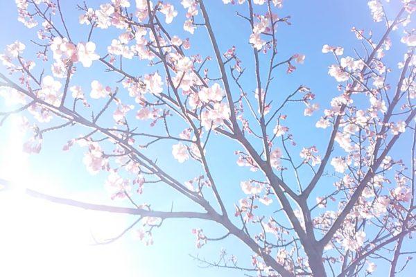 2474桜さん光
