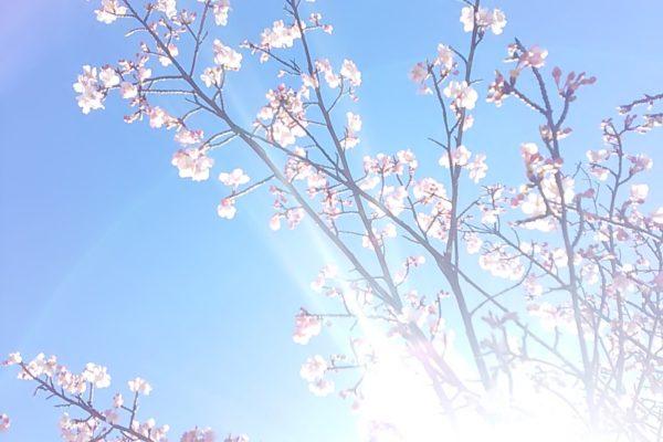 2480 桜さん光