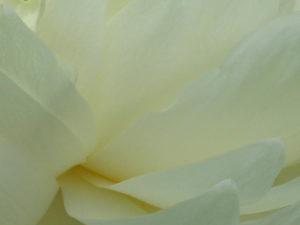 平和の祈り 真白き純粋さの蓮のお花