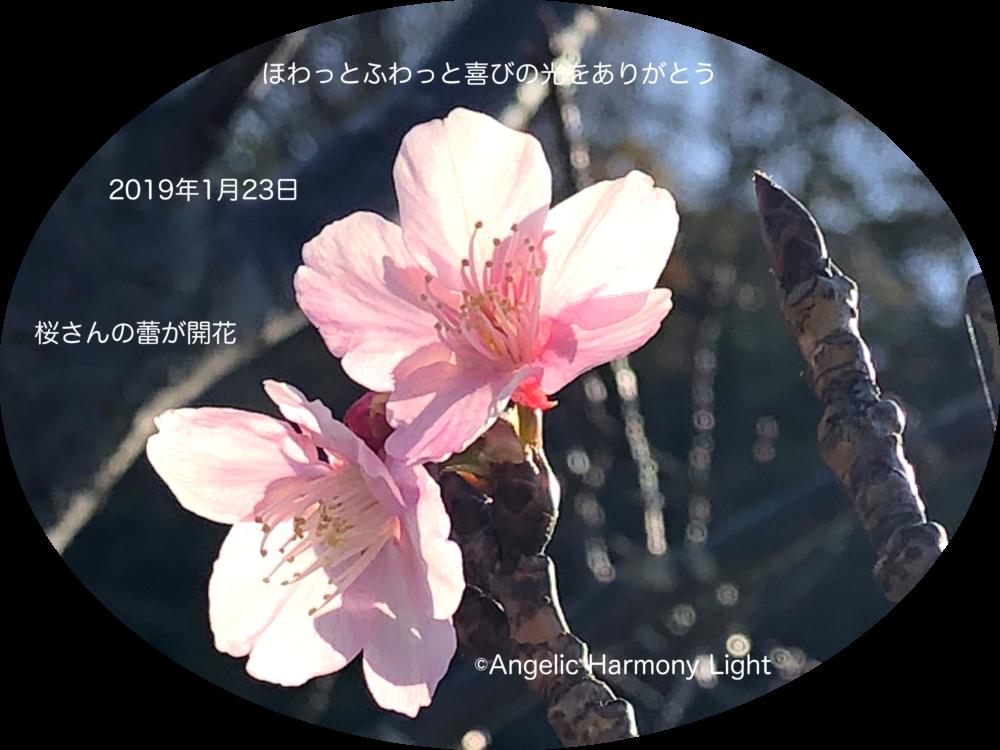 2019年1月23日早咲きの桜さんの喜び♪