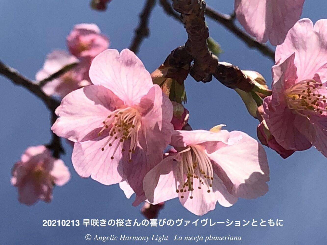 早咲きの桜さんの喜び♪